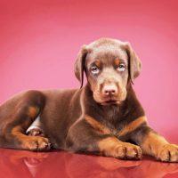 Красивый щенок добермана