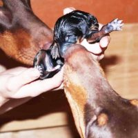Маленький щенок добермана