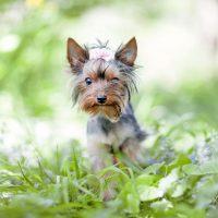 Маленький йоркширский терьер сидит в траве