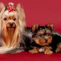 Взрослый йоркширский терьер и щенок