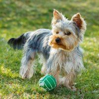 Маленький йорк играет с мячиком