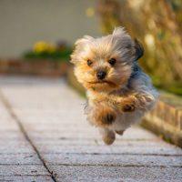 Йоркширский терьер в прыжке