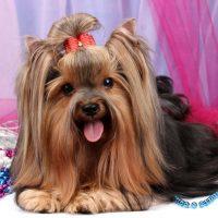 Красивая собака породы йоркширский терьер