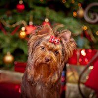 Йоркширский терьер на фоне новогодней елки