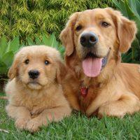 Золотистый ретривер со щенком