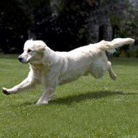 Золотистый ретривер бежит по полю