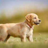 Красивый щенок золотистого ретривера