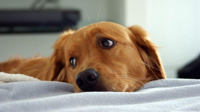 Сонник приснилась рыжая собака