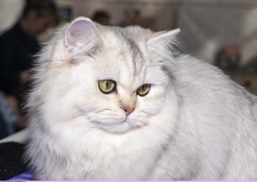Кошки которые пушистые породы